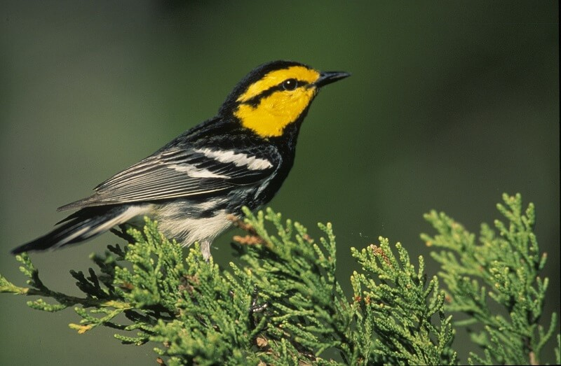 Hill Country pipeline opponents to sue over habitat of endangered golden-cheeked warbler